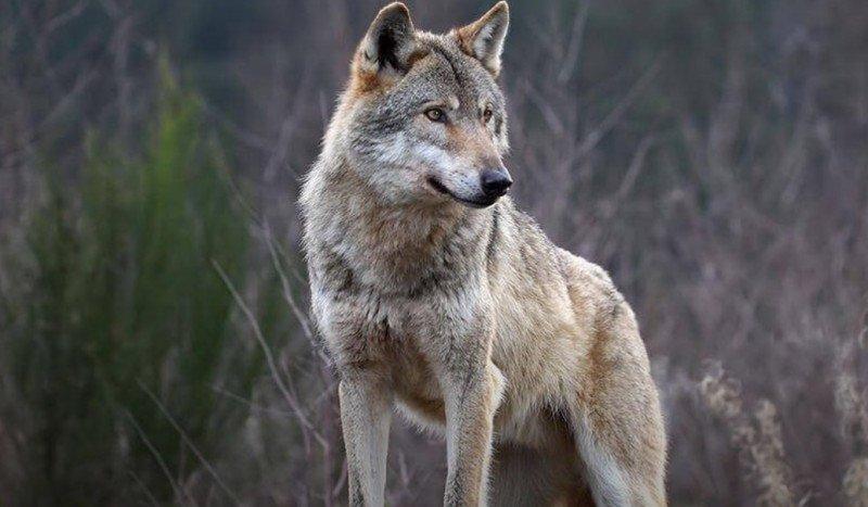 Cosa fare se si incontra un lupo in montagna